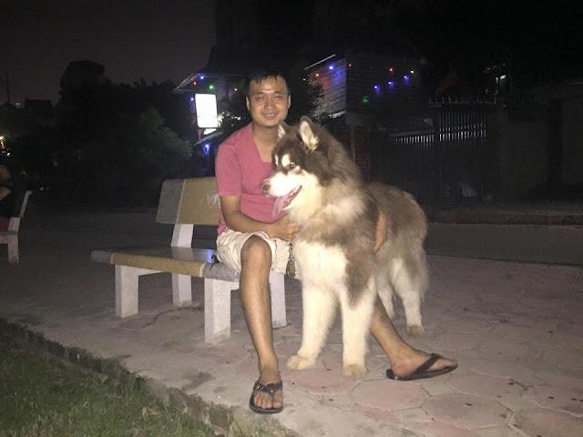 Đực phối giống chó alaska Phi Sói