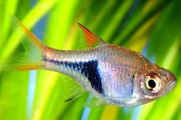 Mengenal Ikan Resbora Dan Jenisnya