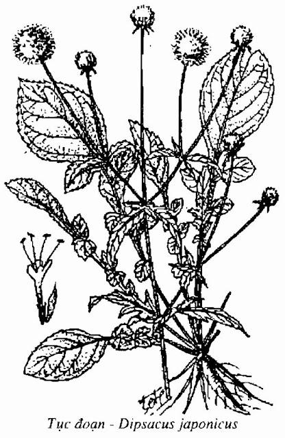 HÌNH VẼ TỤC ĐOẠN - Dipsacus japonicus - Nguyên liệu làm Thuốc Bổ, Thuốc Bồi Dưỡng