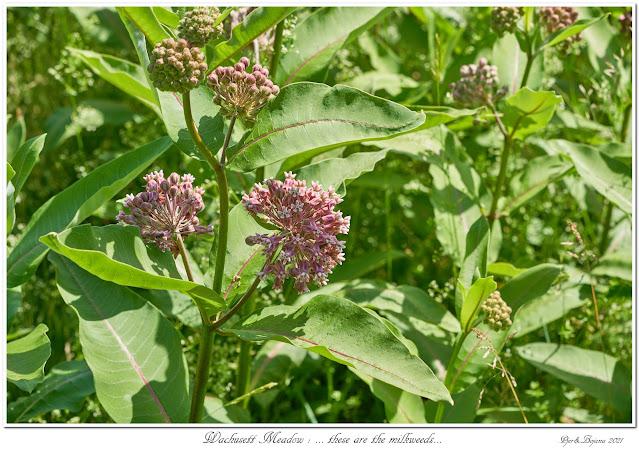 Wachusett Meadow: ... these are the milkweeds...