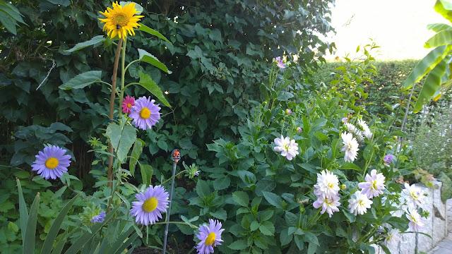 Sonnenblume, Sommeraster und Dahlie (c) by Joachim Wenk