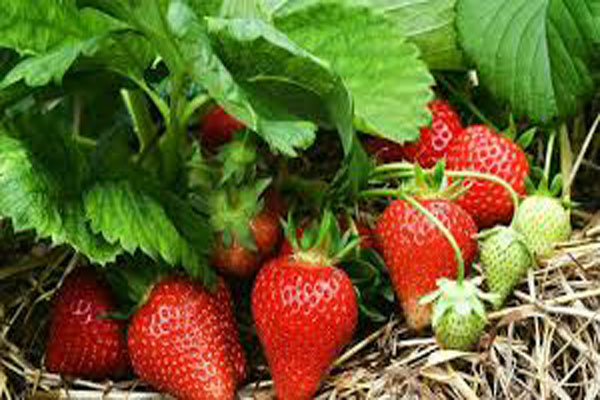 benefits of strawberries, health benefits of stawberries