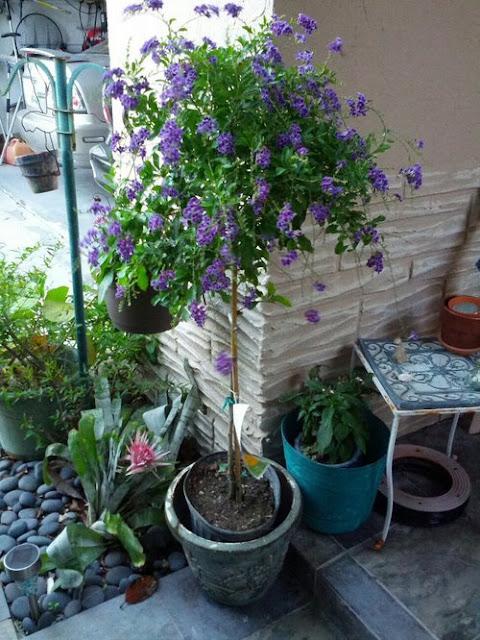 Cây chuỗi ngọc tím tree trồng trước hiên nhà