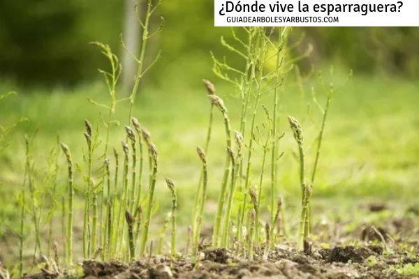 La esparraguera vive en lugares frescos, a los pies de otros árboles y arbustos del bosque mediterráneo