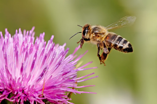 The BUZZ about bees: Colony Collapse Disorder