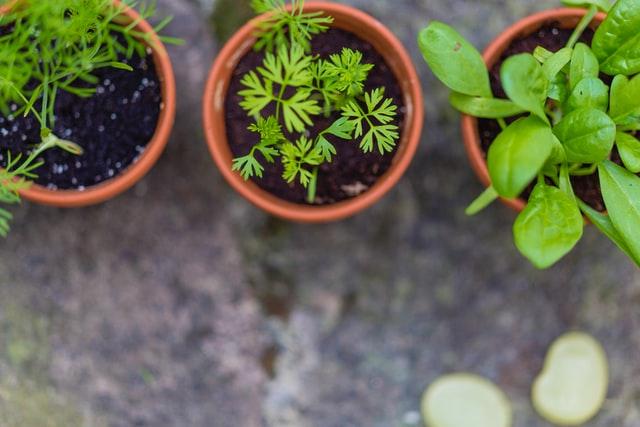 Indoor spice plants