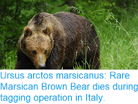 https://sciencythoughts.blogspot.com/2018/04/ursus-arctos-marsicanus-rare-marsican.html