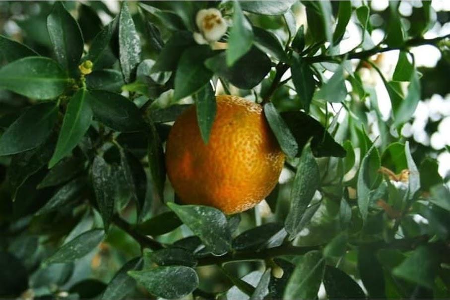 Bibit Tanaman Buah Jeruk Keprok Siam Jeruk Manis jeruk lokal unggul jeruk Mandarin okulasi Pagaralam