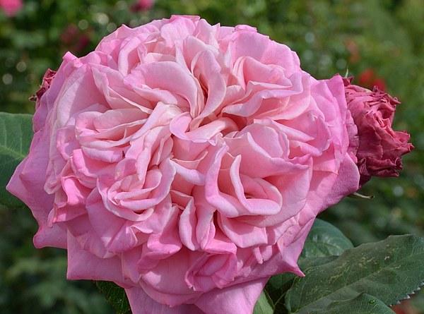 Ashley сорт розы фото