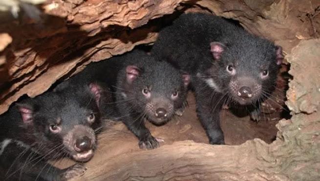 Diavoli della Tasmania, nati cuccioli in Australia: non accadeva da più di 3000 anni