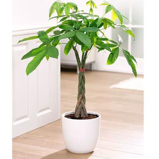 Jual Tanaman Pachira (Money Tree) Sudah Dikepang