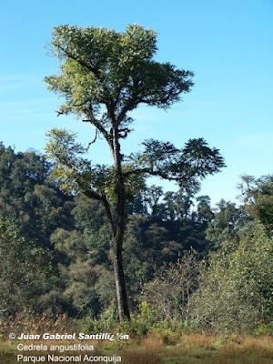 Cedro coya (Cedrela angustifolia)