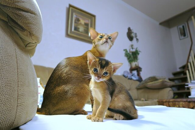 gatto abissino