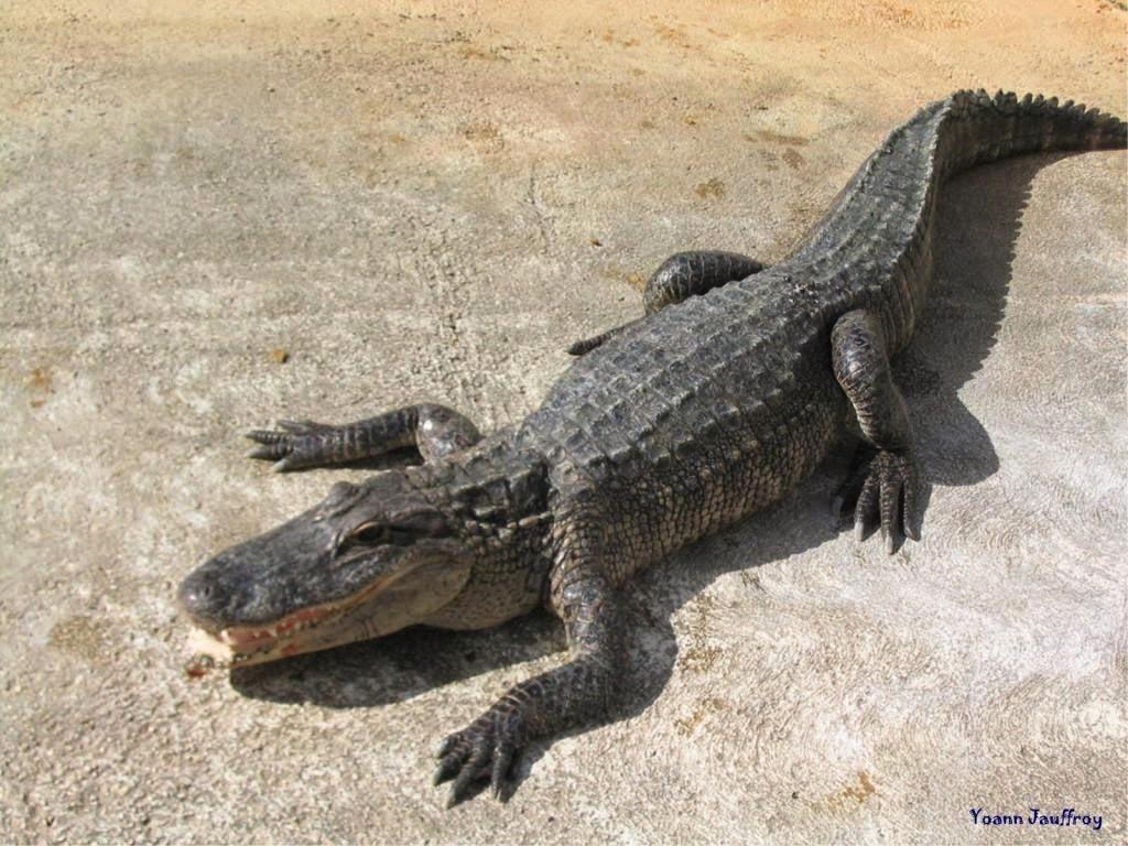 معلومات عن التمساح بالصور والفديو