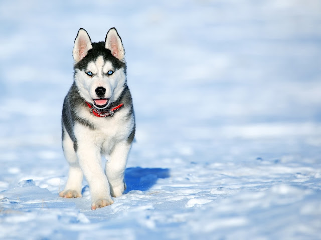 Siberian Husky White Dog Stand On The Snow HD Wallpaper