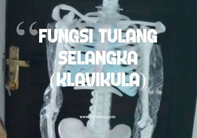 Fungsi Tulang Selangka