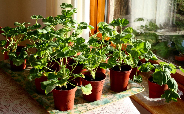 how to prune geraniums in pots