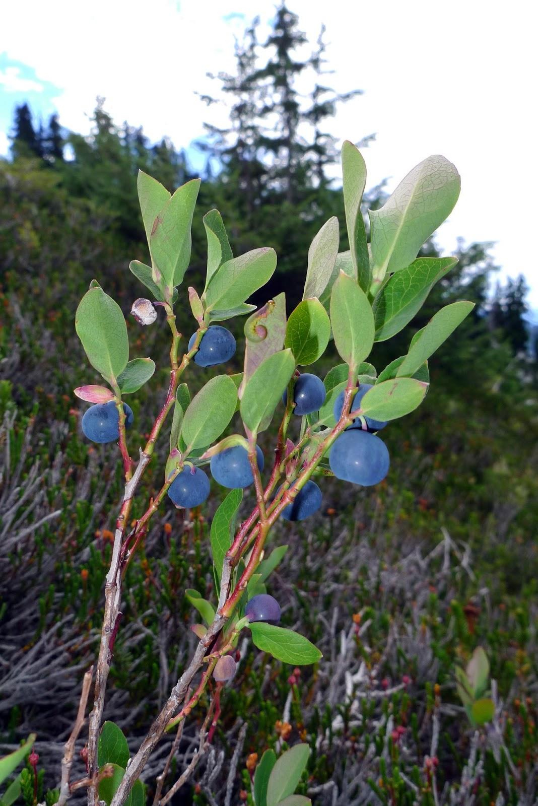 Wild Harvests Mountain Berries Huckleberries Bilberries