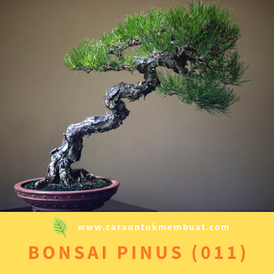 Bonsai Pinus (011)