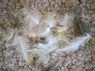 Permasalahan Burung Kenari Yang Mabung (MOLTING) : Maslah Terjadinya Mabung Pada Burung