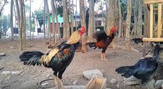 Ayam Birma Ori Asli berkualitas