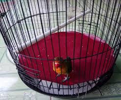 Tips Jitu Mengatasi Lovebird Turun Tangkringan
