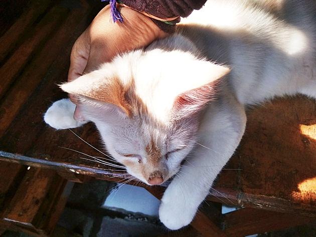 Cara Perawatan dan Harga Kucing Ras Himalaya