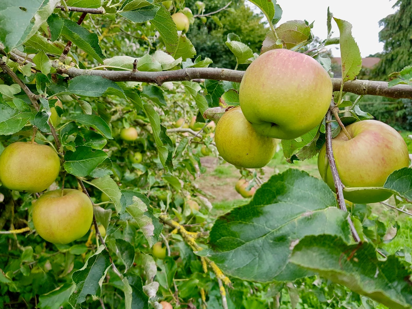 green apple trees, bursting with fruit
