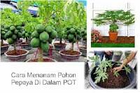 Cara Tanam Pohon Pepaya Di Dalam Gentong Atau Pot