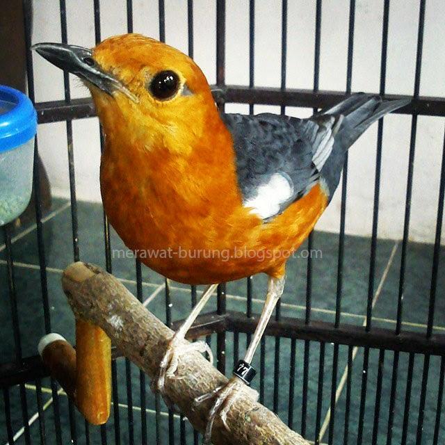 Burung anis merah merupakan jenis burung petarung di ajang kontes burung kicauan Tips Cara Membedakan Burung Anis Merah Jantan dan Betina