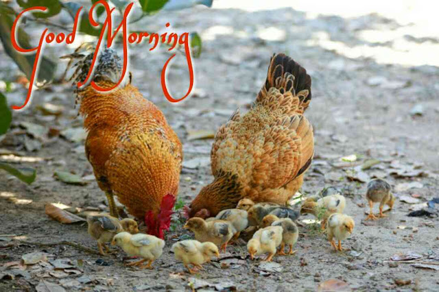 Good morning image of hen and rooster with chicks