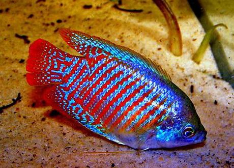 Cara Budidaya Ikan Sepat Mutiara Bagi Pemula Lengkap