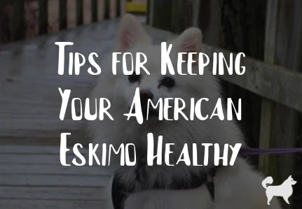 Tips for Keeping Your American Eskimo Healthy