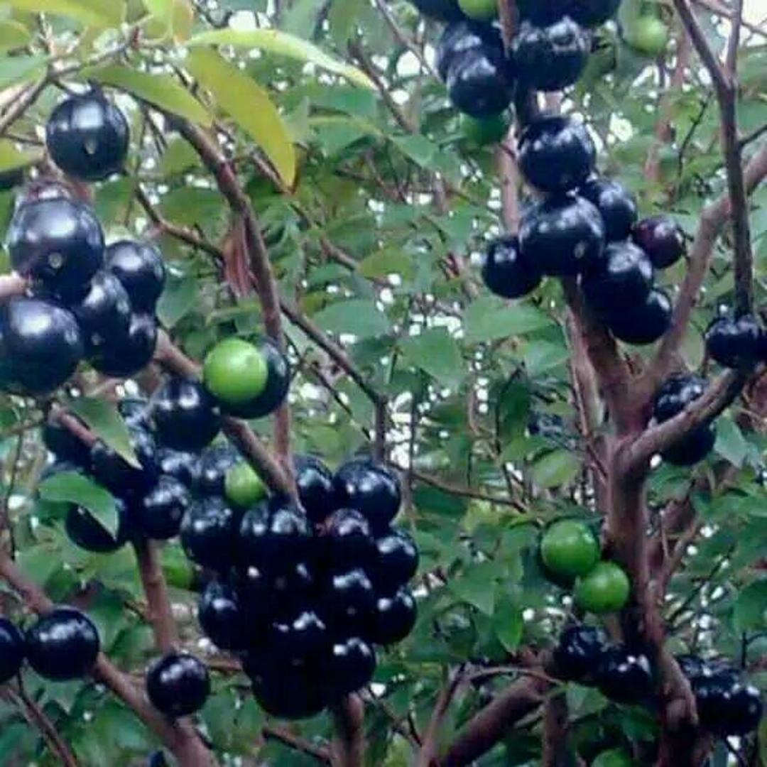 Borong Segera! Bibit buah anggur brazil sabhara Kota Kediri #bibit buah genjah