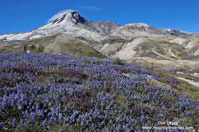 Mount St. Helens above meadows of lupine in Pumice Plain, Mount St. Helens National Volcanic Monument, Washington, USA.