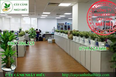 Báo giá cho thuê cây cảnh văn phòng tại Hà Nội