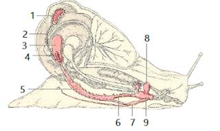Reproduksi Gastropoda