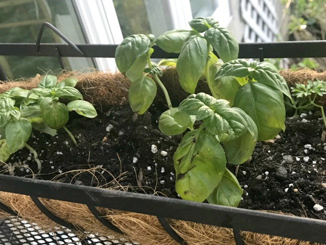 Basil planted in a Baker's Rack Herb Garden