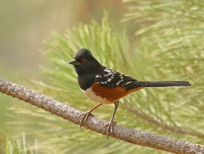 Photo of Spotted Towhee on pine branch