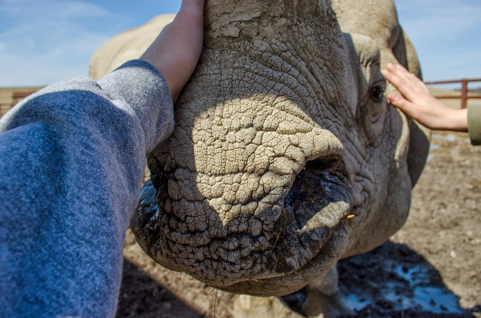 Petting a rhino