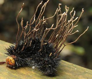 Akanthomyces sp.