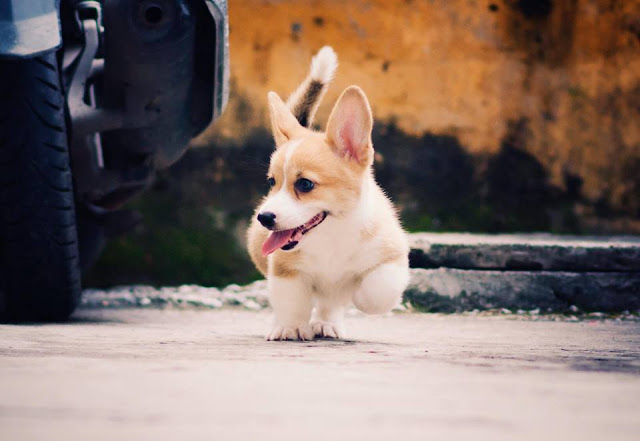 Avatar những chú chó chân ngắn cực đẹp