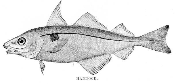 Haddock Fishing – Off the Coast of Maine