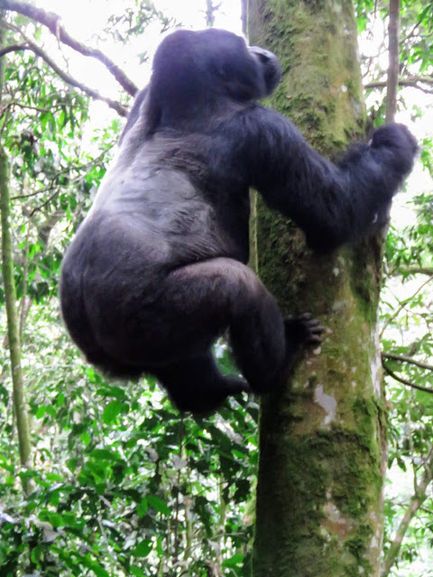 Silverback mountain gorilla of the Nkuringo family in Western Uganda climbing a tree
