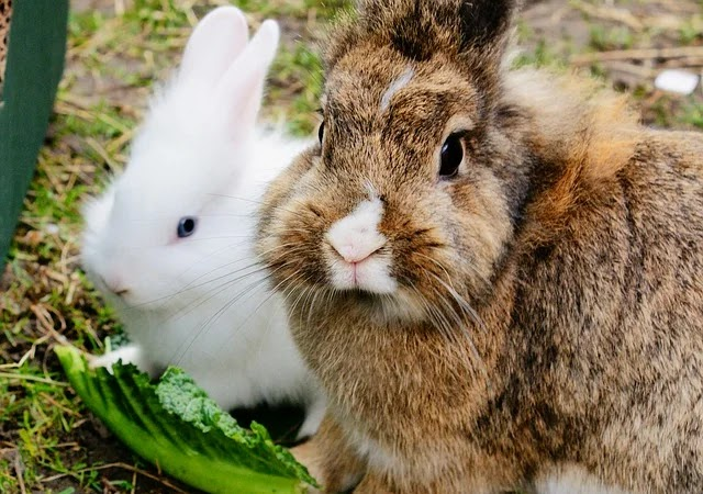 Can Rabbits Eat Strawberries?  |  Cage Heaven