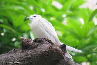 White Tern on 'nest' in Waikiki, Oahu - © Denise Motard