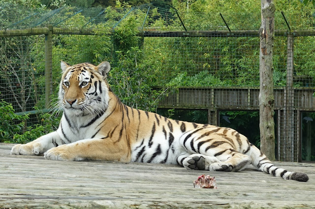 A tiger lying on a wooden platform