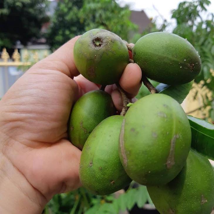 bibit kedondong mini super Kepulauan Riau