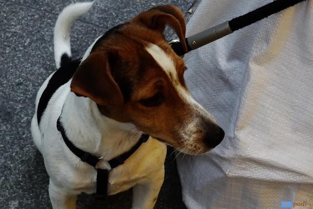 incrocio tra beagle e segugio francese?