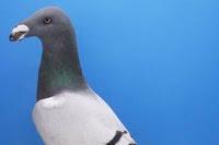 Jenis Burung Merpati/ Dara Berdasarkan Kemampuan Terbang, Ukuran, Bentuk Badan dan Warna Bulu